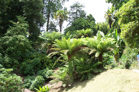Tree ferns at Glendurgan Gardens - Photo Matthew Brannan